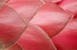 Detail of a red ginger blossom Stock Photography
