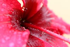 Detail of red hibiscus flower pollen stock image