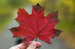 Detail of red maple leaf held in hand.  stock images