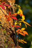 Detail of red, orange and yellow leaves at autumn Royalty Free Stock Photography