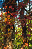 Detail of red, orange and yellow leaves at autumn Royalty Free Stock Image