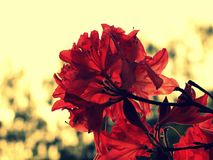 Detail of red Rhododendron, azalea in Czech garden. Like glass royalty free stock photography