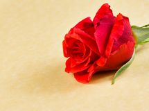 Detail of red rose on parchment paper background with space for text Stock Image