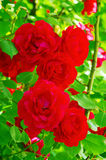 Detail of red roses royalty free stock images