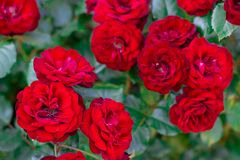 Detail of red roses in the garden. floral background royalty free stock photos