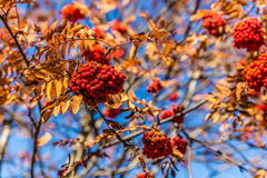 Detail Of Red Rowan Berry During Sunny Autumn Day Stock Photos