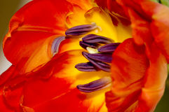 Detail red tulip Stock Photos