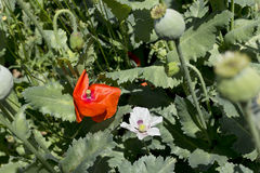Detail of the red and white Poppy Bloom Stock Photos