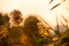 Detail of reed spikelet in the sunset Royalty Free Stock Image