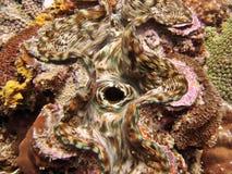 Detail - ReuzeTweekleppig schelpdier Stock Afbeeldingen