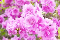 Detail of Rhododendron lateritium flowers Stock Image