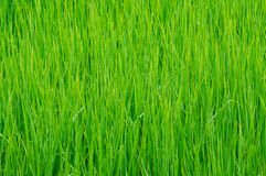 Detail of rice field in Thailand. Stock Photo