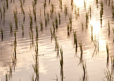 Detail of rice field, Ubud, Bali. Detail of rice leaves in water. Reflections Royalty Free Stock Photos