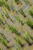Detail of Rice Plant in the Field Stock Photos