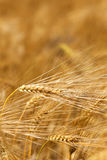Detail of ripe Barley Spikes Stock Photos