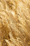 Detail of ripe Barley Spikes Stock Image