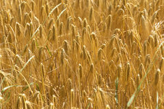 Detail of ripe Barley Spikes Royalty Free Stock Images