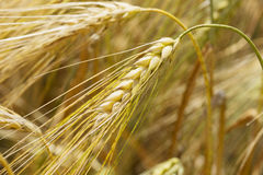 Detail of ripe Barley Spikes Stock Images