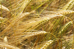 Detail of ripe Barley Spikes Royalty Free Stock Photography