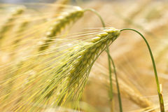 Detail of ripe Barley Spikes Stock Photography