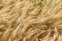 Detail of ripe Barley Spikes Royalty Free Stock Photos