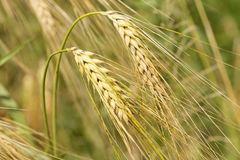 Detail of ripe Barley Spikes Stock Photo