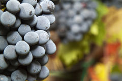 Detail of ripe grapes. Closeup on a ripe bunch of Sangiovese grapes in a vineyard in the Chianti Classico region of Tuscany, Italy. Selective focus Stock Image