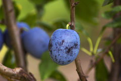 Detail of ripe plums Stock Photos