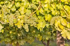 Detail of ripe white riesling grapes on vine stock images