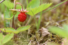 Detail of the ripe wild strawberry. Detail of the forest products - wild strawberries Stock Photo