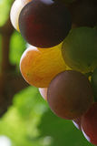 Detail of a riping bunch of dutch consumption grapes Royalty Free Stock Photography