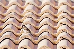 Sparrow on a roof Stock Image