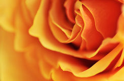 Detail of rose. Close up of an orange rose royalty free stock image