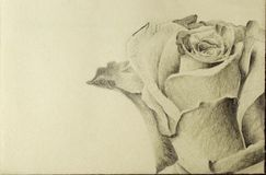 Detail rose drawing stock photography