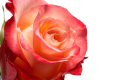 Detail of Rose with Peach and Red Colored Petals Royalty Free Stock Photography