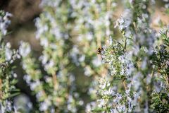 Detail of rosemary blossoms with bee stock photos