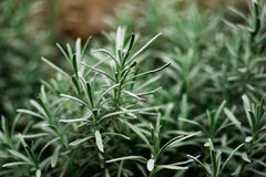 Detail of rosemary bush Stock Image