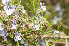 Detail of a rosemary bush in bloom Royalty Free Stock Photography