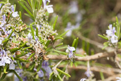 Detail of a rosemary bush in bloom Stock Photography