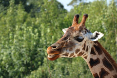 Detail of Rothschild's giraffe head, eating branch with open mou Stock Photos