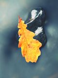 Detail of rotten old oak leaf on basalt stone in blurred water Stock Image