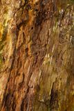 Detail of a rotting tree. Detail of a rotting oak tree: lots of holes of woodworms and some algae Royalty Free Stock Image