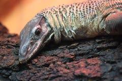 Roughneck monitor lizard Stock Photos