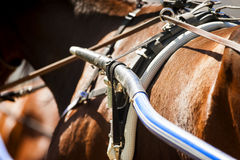 Detail of running horse harness closeup Stock Photo
