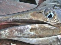 Detail - Sailfish Teeth. Close-up shot of the beak of a sailfish. You can see its small (but SHARP) teeth royalty free stock photography