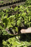 Detail of salad in a basket Royalty Free Stock Photo