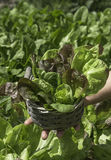 Detail of salad in a basket Stock Photos
