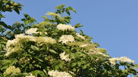 Sambucus nigra; Black Elder Royalty Free Stock Photography