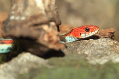 San Francisco garter snake Stock Photo
