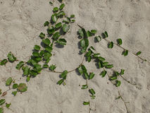 Detail of sand background texture and dry plant seaweed Royalty Free Stock Photo
